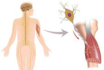 Причины возникновения и симптомы бокового амиотрофического склероза