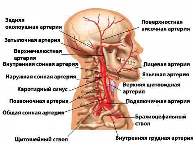Артерии головного мозга