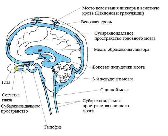 Движение ликвора в головном мозге