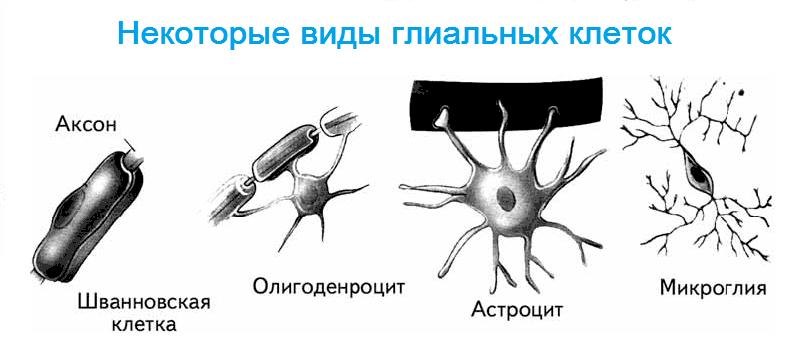 Некоторые виды глиальных клеток