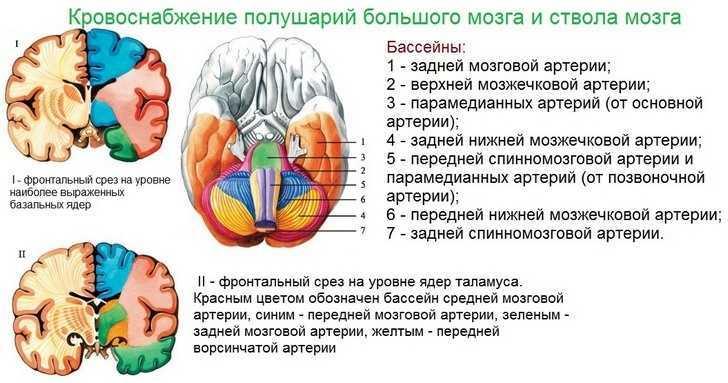 Кровоснабжение полушарий головного мозга