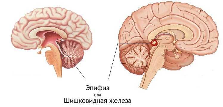 Эпифиз или шишковидная железа