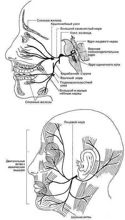 Схема иннервации лицевого нерва